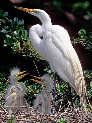 Photograph - Great Egret Ardea Alba In Nest by Millard H. Sharp