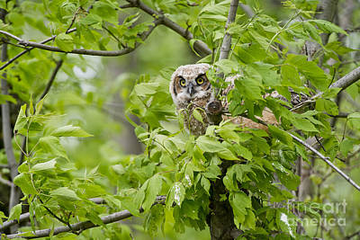 Owl Photograph - Great Horned Owlet by Michael Cummings