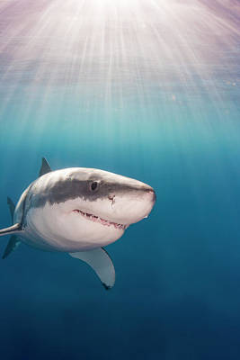 Great White Death Photograph - Great White Shark  Carcharodon by Dave Fleetham