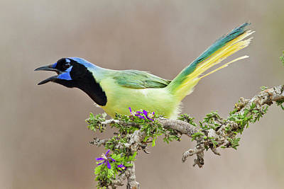 Starr Photograph - Green Jay (cyanocorax Yncas by Larry Ditto