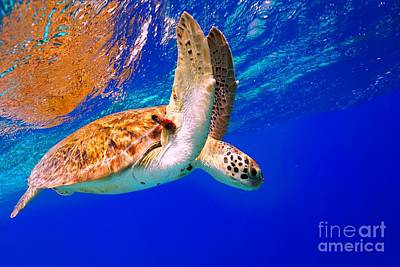 Photograph - Green Sea Turtle by Isabelle Kuehn