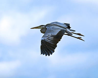 Photograph - Grey Heron by Paul Scoullar
