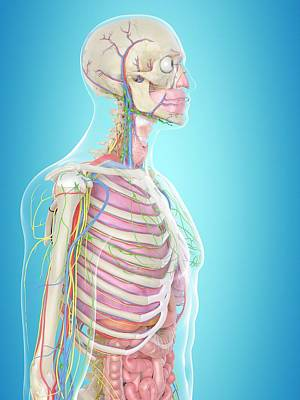Biomedical Illustration Photograph - Human Anatomy by Sciepro