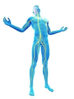Biomedical Illustration Photograph - Human Nervous System by Sebastian Kaulitzki
