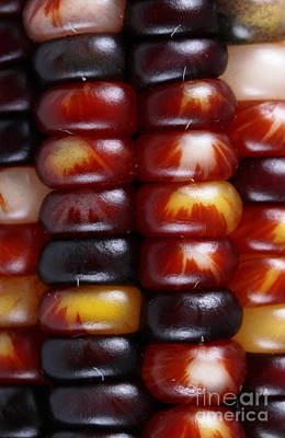 Ear Of Corn Photograph - Indian Corn by Photo Researchers, Inc.