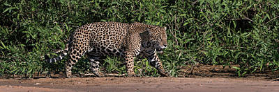 Jaguar Panthera Onca Walking Art Print by Panoramic Images