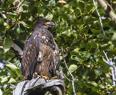 Photograph - Juvenile Bald Eagle by Doug Lloyd