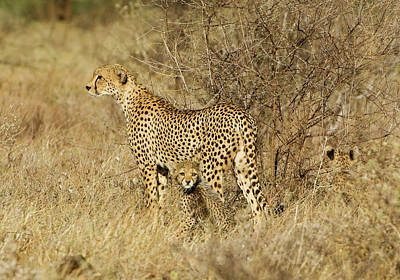 Kenya, Samburu National Reserve Print by Jaynes Gallery