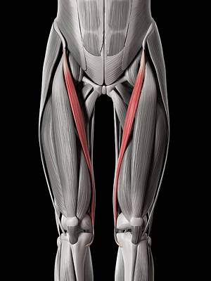 Biomedical Illustration Photograph - Leg Muscles by Sebastian Kaulitzki