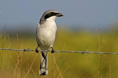 Photograph - Loggerhead Shrike by Ira Runyan