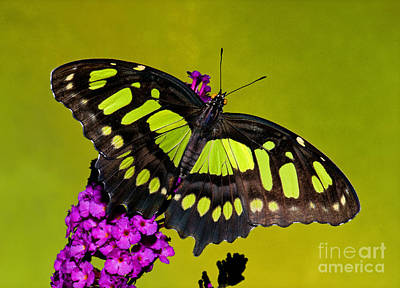 Photograph - Malachite Butterfly by Millard H Sharp