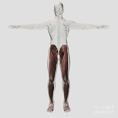 Vastus Medialis Digital Art - Male Muscle Anatomy Of The Human Legs by Stocktrek Images