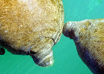 Photograph - Manatee Trichechus Manatus by Millard H. Sharp