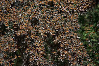 Monarch Butterflies Art Print by Carol Ailles