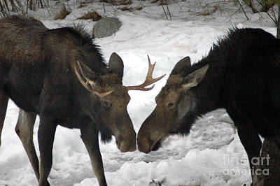 Photograph - 809p Moose by NightVisions