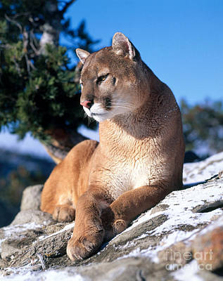 Puma Photograph - Mountain Lion by Hans Reinhard
