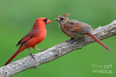 Photograph - Northern Cardinal by Steve Javorsky