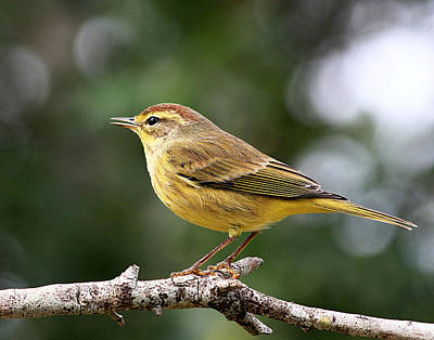 Photograph - Palm Warbler by Ira Runyan