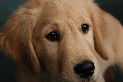 Golden Retriever Photograph - Portrait Of Golden Retriever Puppy by Animal Images