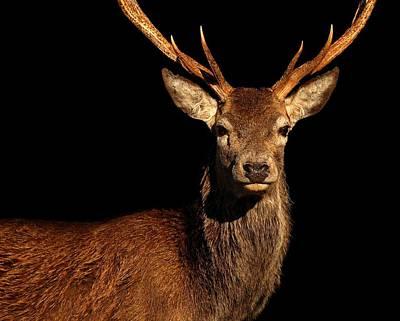 Photograph - Red Deer Stag by Gavin Macrae