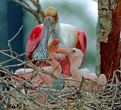 Photograph - Roseate Spoonbills by Millard H. Sharp