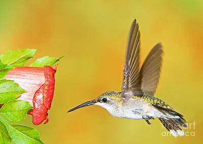 Apodiformes Photograph - Ruby Throated Hummingbird Female by Millard H. Sharp