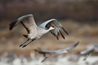 Roost Photograph - Sandhill Crane (grus Canadensis by Larry Ditto