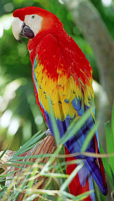 Photograph - Scarlet Macaw by Millard H. Sharp