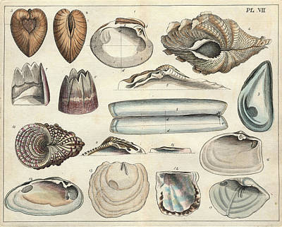 Razor Clams Wall Art - Photograph - Shells by Natural History Museum, London/science Photo Library