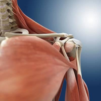 Articulation Photograph - Shoulder Anatomy by Springer Medizin