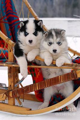 Siberian Husky Puppies Art Print by Rolf Kopfle