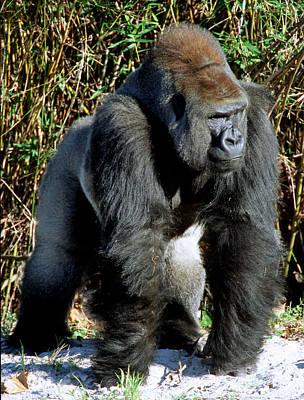 Photograph - Silverback Western Lowland Gorilla by Millard H. Sharp