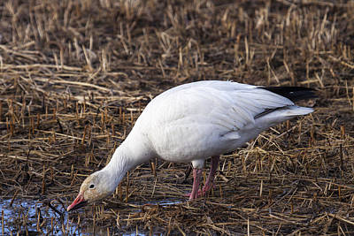 Photograph - Snow Geese by Doug Lloyd