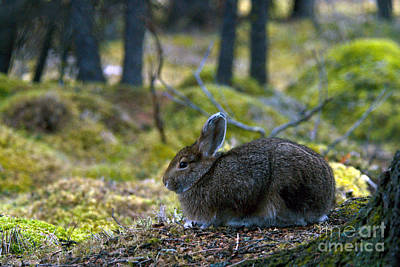 Snowshoe Hare Photograph - Snowshoe Hare In Fall Coat by Mark Newman