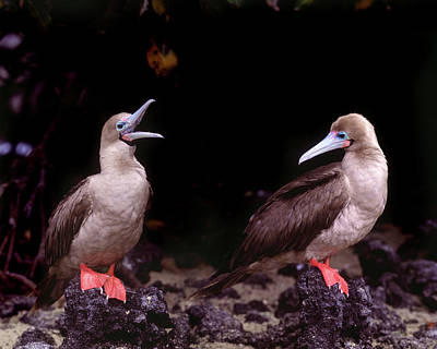 Boobies Photograph - South America, Ecuador, Galapagos by Jaynes Gallery