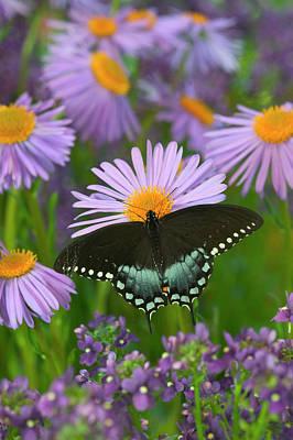 Blue Swallowtail Photograph - Spicebush Swallowtail, Papilio Troilus by Darrell Gulin