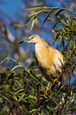Romania Photograph - Squacco Heron (ardeola Ralloides by Martin Zwick