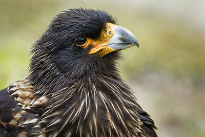 Carcass Island Photograph - Striated Caracara by John Shaw