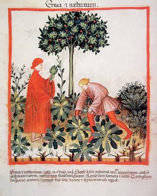 Watercress Photograph - Tacuinum Sanitatis, Medieval Health by Prisma Archivo