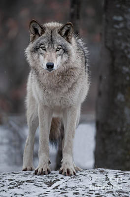 Animals Royalty-Free and Rights-Managed Images - Timber Wolf  by Wolves Only