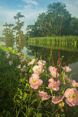 Primroses Photograph - Usa, Louisiana, Lake Martin by Jaynes Gallery