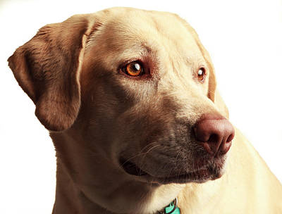 Property Released Photograph - Usa, Oregon, Keizer, Labrador Retriever by Rick A Brown