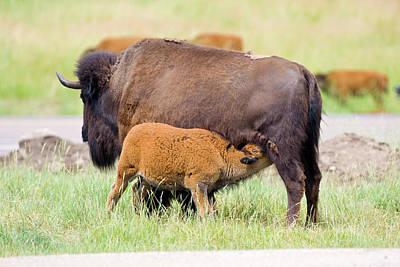 Animal Behavior Photograph - Usa, South Dakota, Custer State Park by Jaynes Gallery
