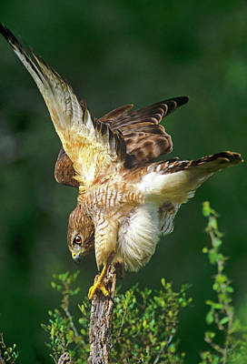 Red Shouldered Hawk Photograph - Usa, Texas, Rio Grande Valley, Mcallen by Jaynes Gallery