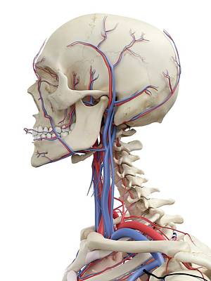Human Head Photograph - Vascular System by Sciepro