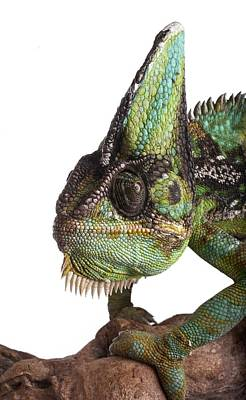 Veiled Chameleon Art Print by Science Photo Library