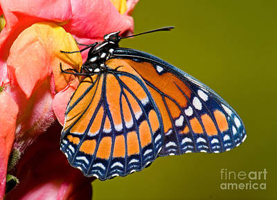 Photograph - Viceroy Butterfly by Millard H Sharp
