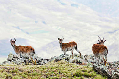 Goat Wall Art - Photograph - Walia Ibex (capra Walie by Martin Zwick