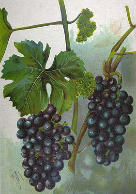 Wine Grapes Drawing - Wine Grapes, Vine, Agriculture, Fruit, Food And Drink by English School