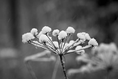 Jouko Lehto Royalty-Free and Rights-Managed Images - Winter flowers black and white by Jouko Lehto